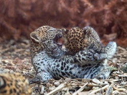 Rare leopard cubs play together in zoo enclosure