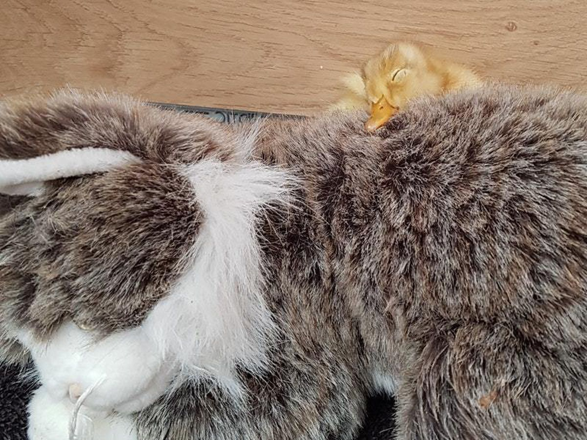 Duckling with toy cat