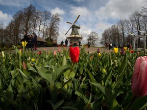 Far fewer visitors than normal are seen at the world-famous Keukenhof garden in Lisse, Netherlands