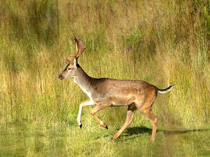 Rutting season leads to an increase in deer activity on Cannock Chase